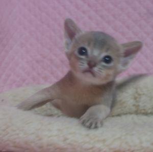 アビシニアン子猫 ルディ ブルー家族募集 _e0033609_12335060.jpg