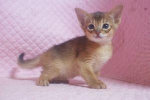 アビシニアン子猫 ルディ ブルー家族募集 _e0033609_1233997.jpg