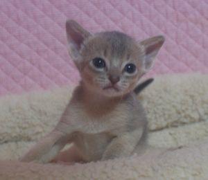 アビシニアン子猫 ルディ ブルー家族募集 _e0033609_12341172.jpg