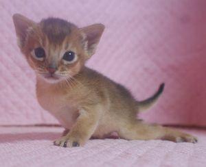 アビシニアン子猫 ルディ ブルー家族募集 _e0033609_1235151.jpg