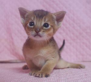 アビシニアン子猫 ルディ ブルー家族募集 _e0033609_12382072.jpg