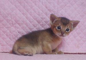 アビシニアン子猫 ルディ ブルー家族募集 _e0033609_1238983.jpg