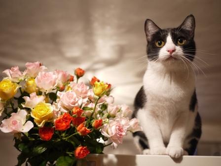 いっぱいの薔薇猫 みるきぃ編。_a0143140_039466.jpg