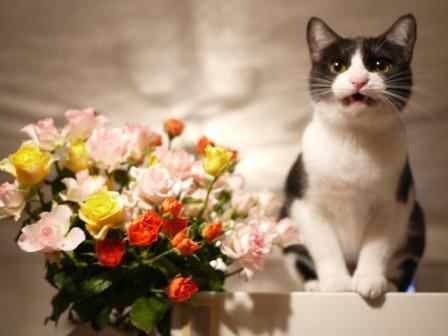 いっぱいの薔薇猫 みるきぃ編。_a0143140_0413334.jpg