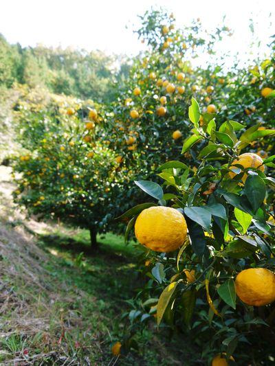 香り高き柚子(ゆず)「あっぱれ」 収穫後の選別作業と保管_a0254656_17124063.jpg