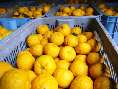 香り高き柚子(ゆず)「あっぱれ」 収穫後の選別作業と保管_a0254656_1712767.jpg