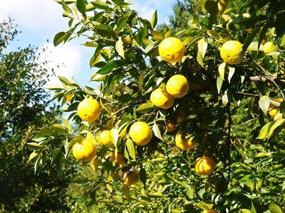 香り高き柚子(ゆず)「あっぱれ」 収穫後の選別作業と保管_a0254656_17202255.jpg