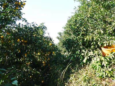 香り高き柚子(ゆず)「あっぱれ」 収穫後の選別作業と保管_a0254656_17302161.jpg