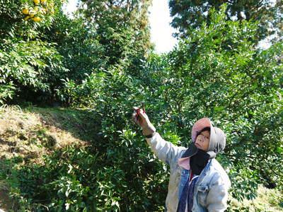 香り高き柚子(ゆず)「あっぱれ」 収穫後の選別作業と保管_a0254656_17442323.jpg