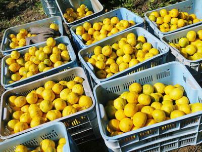 香り高き柚子(ゆず)「あっぱれ」 収穫後の選別作業と保管_a0254656_17531313.jpg