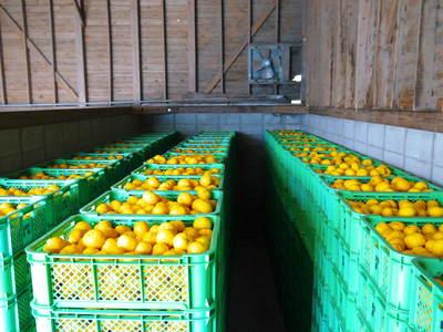 香り高き柚子(ゆず)「あっぱれ」 収穫後の選別作業と保管_a0254656_1824547.jpg