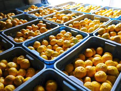香り高き柚子(ゆず)「あっぱれ」 収穫後の選別作業と保管_a0254656_183152.jpg