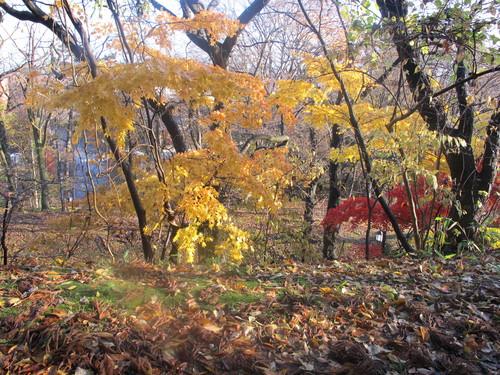 晩秋、千秋公園の紅葉・黄葉・落葉のルクス(lux)・・・その16_c0075701_1855172.jpg