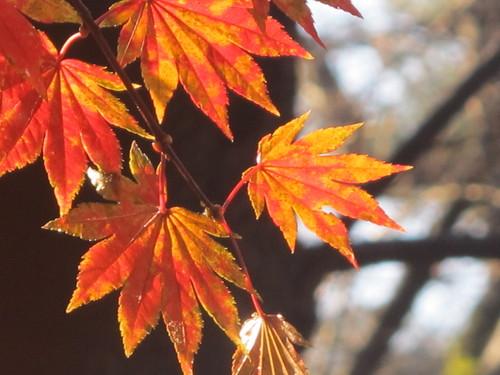晩秋、千秋公園の紅葉・黄葉・落葉のルクス(lux)・・・その17_c0075701_1911288.jpg