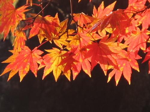 晩秋、千秋公園の紅葉・黄葉・落葉のルクス(lux)・・・その17_c0075701_1912216.jpg