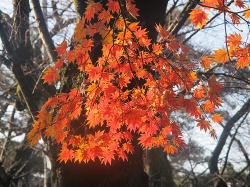 晩秋、千秋公園の紅葉・黄葉・落葉のルクス(lux)・・・その17_c0075701_1912761.jpg