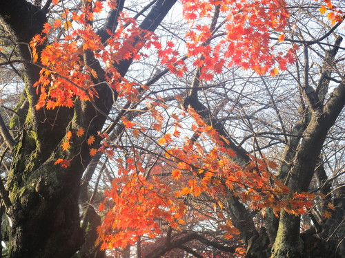晩秋、千秋公園の紅葉・黄葉・落葉のルクス(lux)・・・その17_c0075701_1913332.jpg
