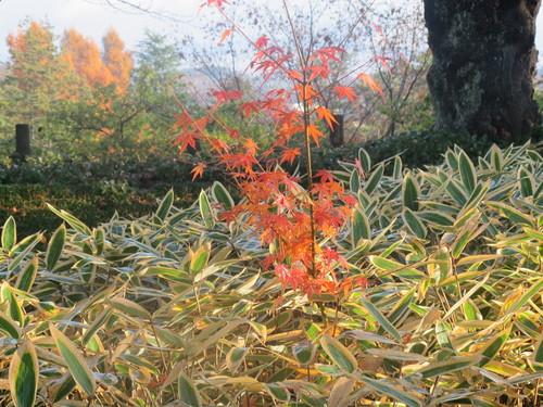 晩秋、千秋公園の紅葉・黄葉・落葉のルクス(lux)・・・その18_c0075701_1961495.jpg