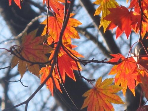 晩秋、千秋公園の紅葉・黄葉・落葉のルクス(lux)・・・その18_c0075701_1963810.jpg