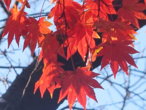 晩秋、千秋公園の紅葉・黄葉・落葉のルクス(lux)・・・その18_c0075701_19779.jpg