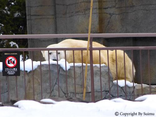 雪の日のホッキョクグマ_d0154140_21374526.jpg