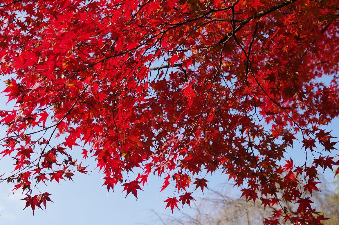 京都の紅葉 2013 〜退蔵院〜_f0152550_18592072.jpg