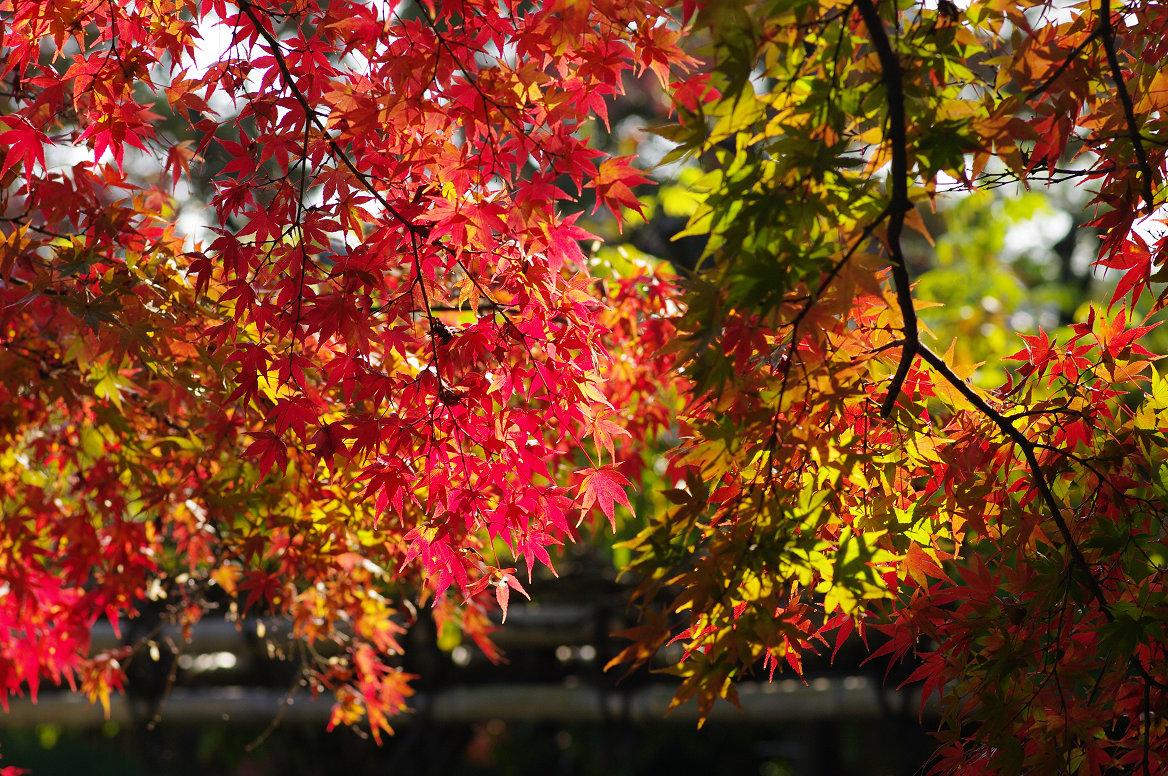 京都の紅葉 2013 〜退蔵院〜_f0152550_1905767.jpg