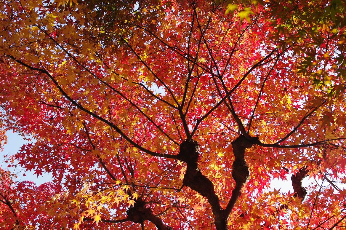 京都の紅葉 2013 〜退蔵院〜_f0152550_1923351.jpg