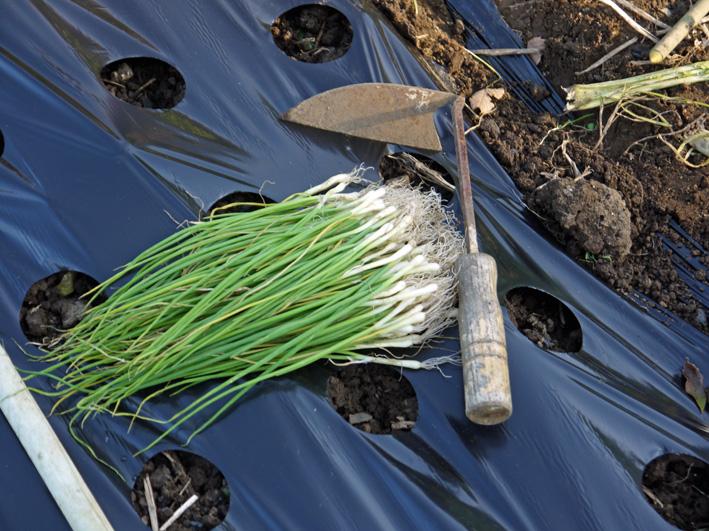 玉葱の苗の植え付け完了、今年も鎌倉すざくの竹炭で土作り_c0014967_20413061.jpg