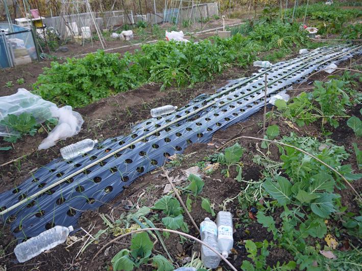 玉葱の苗の植え付け完了、今年も鎌倉すざくの竹炭で土作り_c0014967_20485511.jpg
