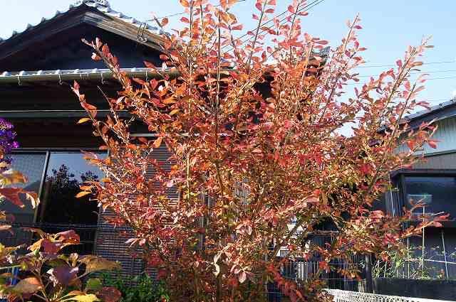 庭の紅葉_e0181373_21421377.jpg