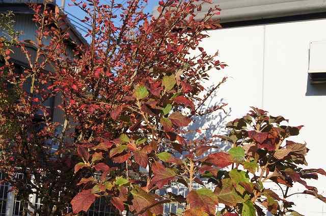 庭の紅葉_e0181373_21423131.jpg