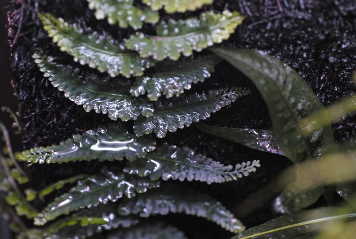 """Teratophyllum aculeatum var. \""""P.Lingga\""""_a0194582_18535456.jpg"""
