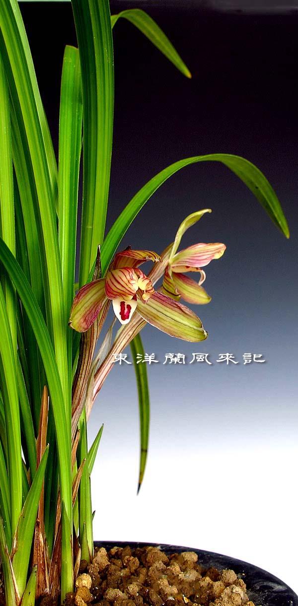 東洋蘭 花図鑑 東洋蘭 日本春蘭 中国春蘭 奥地蘭 春蘭の写真