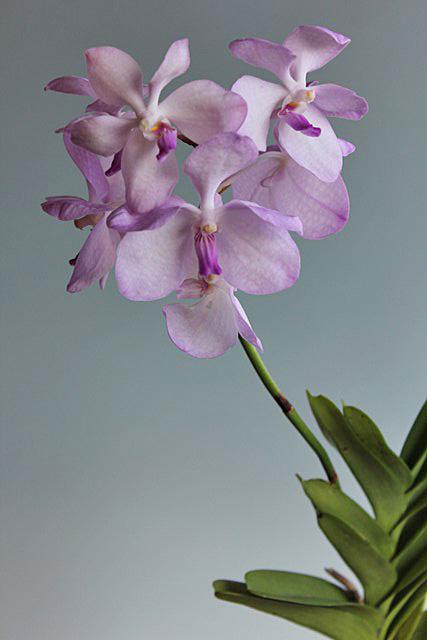 最終;Vanda.coerulea delicata_d0007501_14501556.jpg