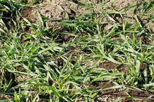 12月の小麦畑(小麦2014)_c0110869_15241081.jpg