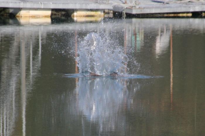 2013.12.3 オープニングはミサゴのダイブ・早戸川林道・ミサゴ、ルリビタキ、ジョウビタキ、カイツブリ_c0269342_18502780.jpg