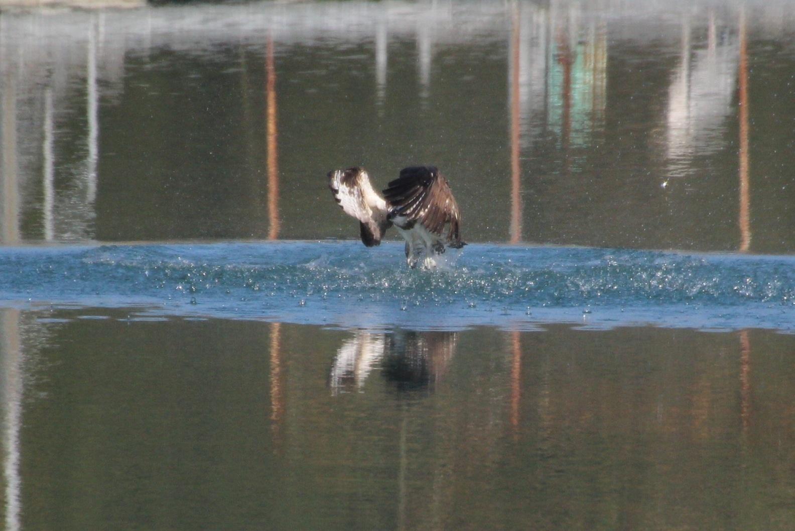 2013.12.3 オープニングはミサゴのダイブ・早戸川林道・ミサゴ、ルリビタキ、ジョウビタキ、カイツブリ_c0269342_18514707.jpg