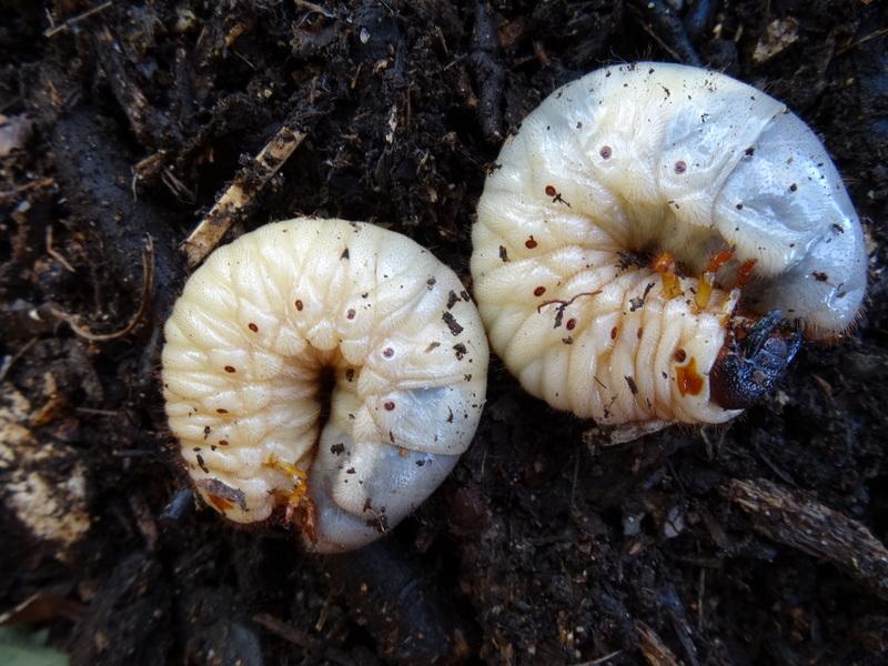 カブトムシ幼虫のチップ山をリニューアル  in  うみべの森_c0108460_2144276.jpg