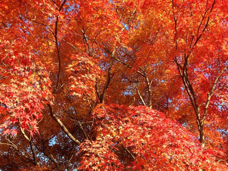 植物園の紅葉とグリルはせがわ_b0277377_838138.jpg