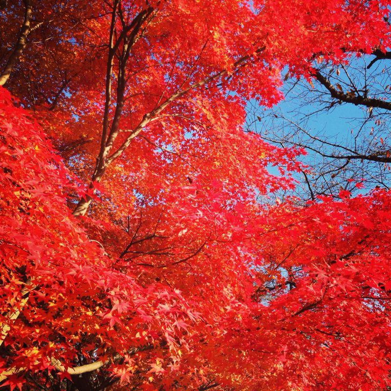 植物園の紅葉とグリルはせがわ_b0277377_838731.jpg