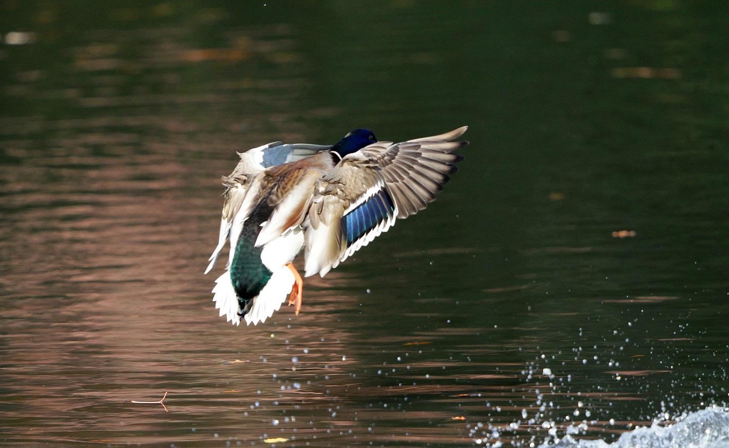 マガモの飛翔は綺麗だった。_f0239515_22483559.jpg