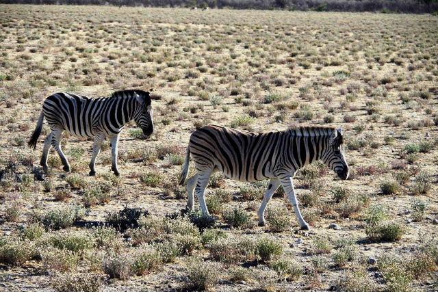 ナミビアの旅(37) エトーシャ国立公園のサファリドライブ(1)_c0011649_23582169.jpg