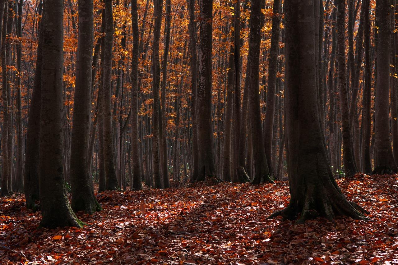 黄落の美人林 3_f0018464_18304451.jpg
