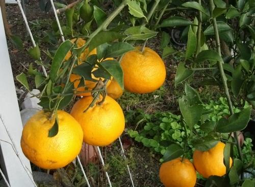 柑橘のはるみと奈津美 _f0018078_1874928.jpg