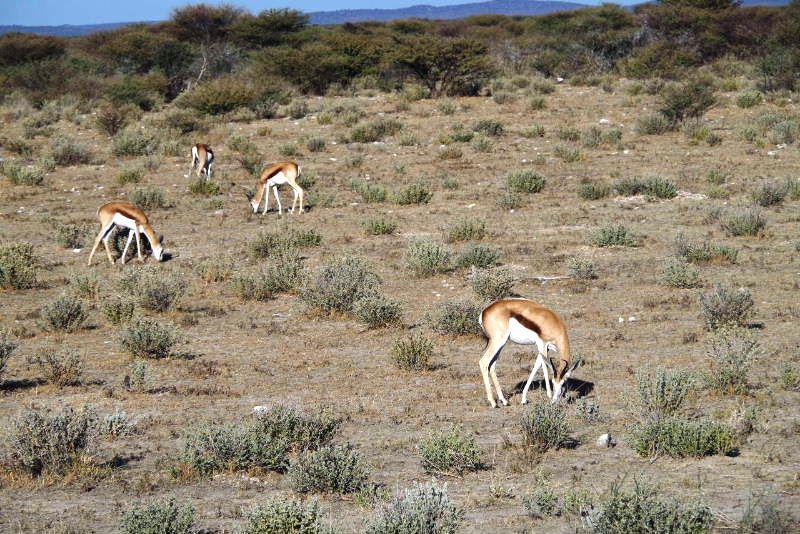 ナミビアの旅(37) エトーシャ国立公園のサファリドライブ(1)_c0011649_0104134.jpg