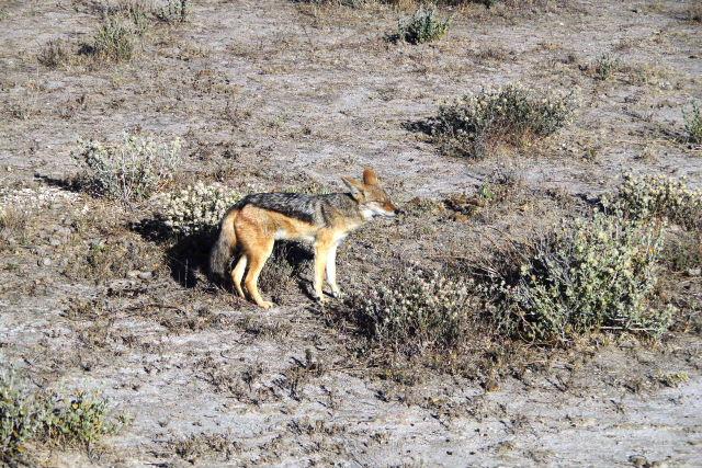 ナミビアの旅(37) エトーシャ国立公園のサファリドライブ(1)_c0011649_0252536.jpg