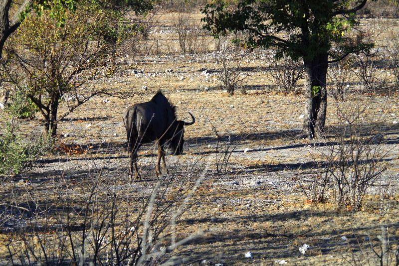 ナミビアの旅(37) エトーシャ国立公園のサファリドライブ(1)_c0011649_046862.jpg