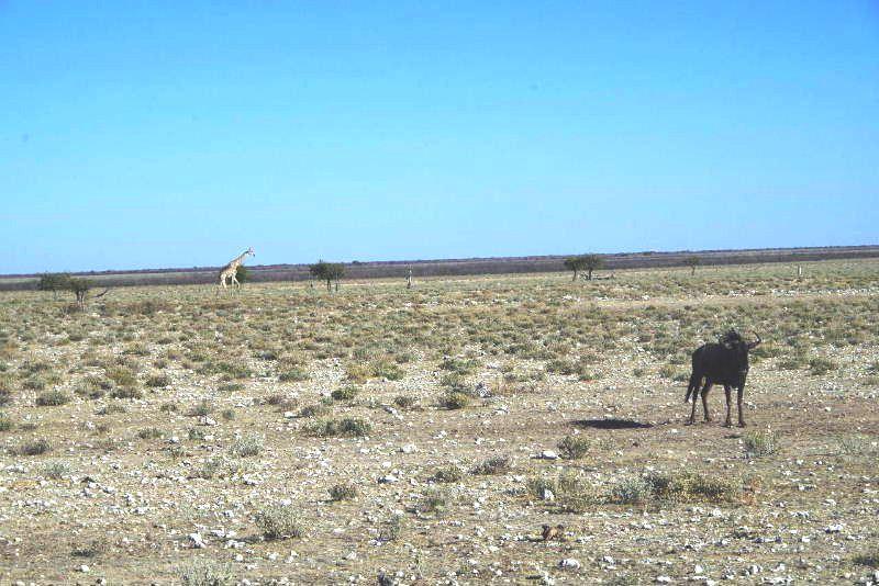 ナミビアの旅(37) エトーシャ国立公園のサファリドライブ(1)_c0011649_051411.jpg