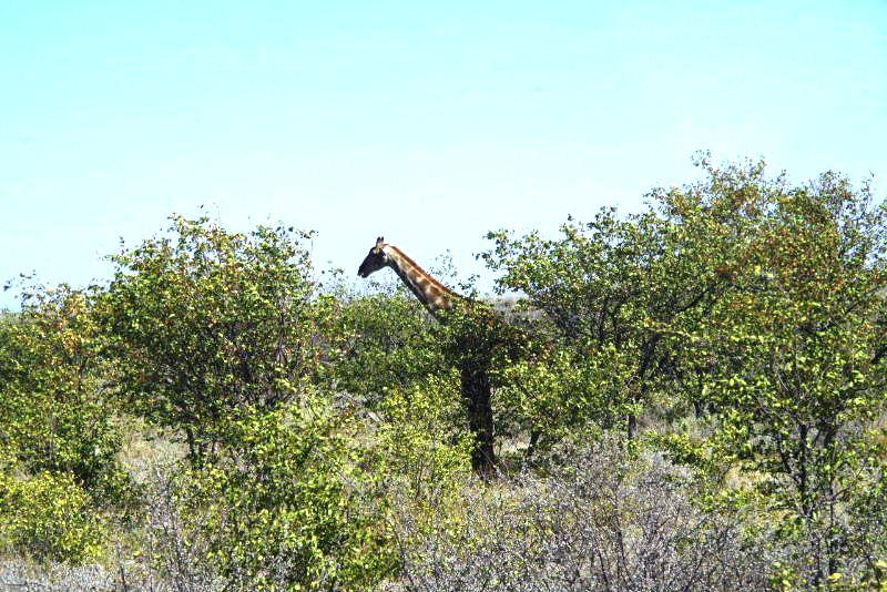 ナミビアの旅(37) エトーシャ国立公園のサファリドライブ(1)_c0011649_0523372.jpg